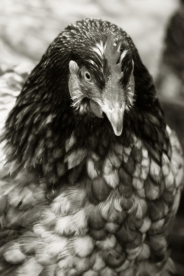 Country Chicken 5 Photograph  - Country Chicken 5 Fine Art Print