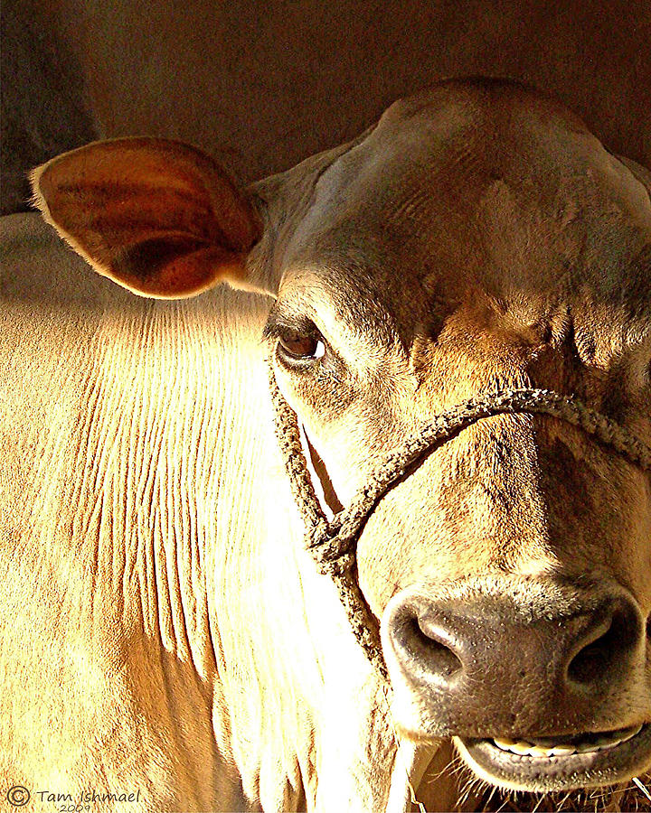 Cow Face Photograph  - Cow Face Fine Art Print