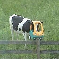Cow With Toy Stuck On His Head Photograph