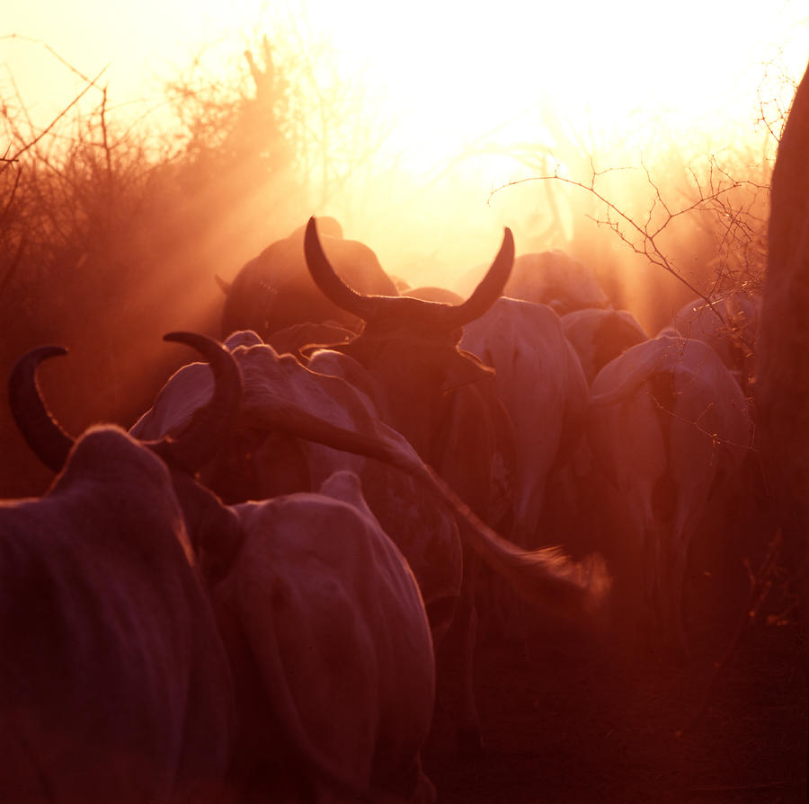 Cows Are Driven Into A Karimojong Kraal Photograph