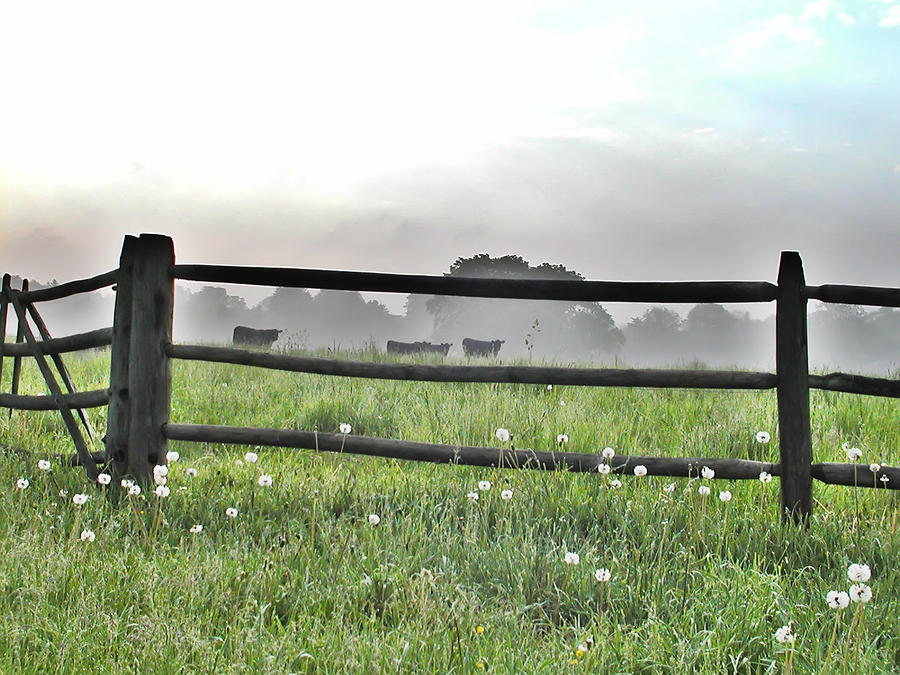 Cows In Field Photograph