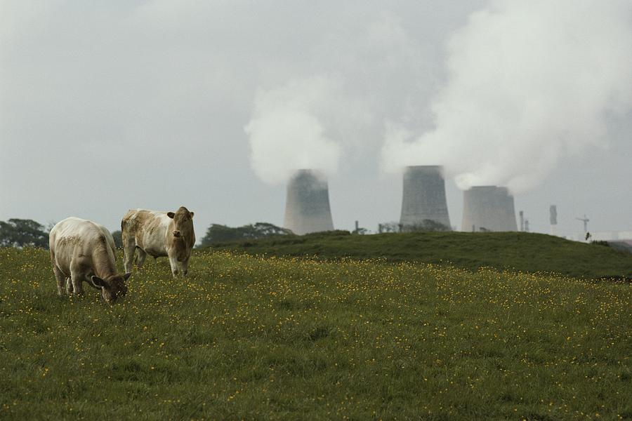 Cows Near Sellafield, One Photograph  - Cows Near Sellafield, One Fine Art Print