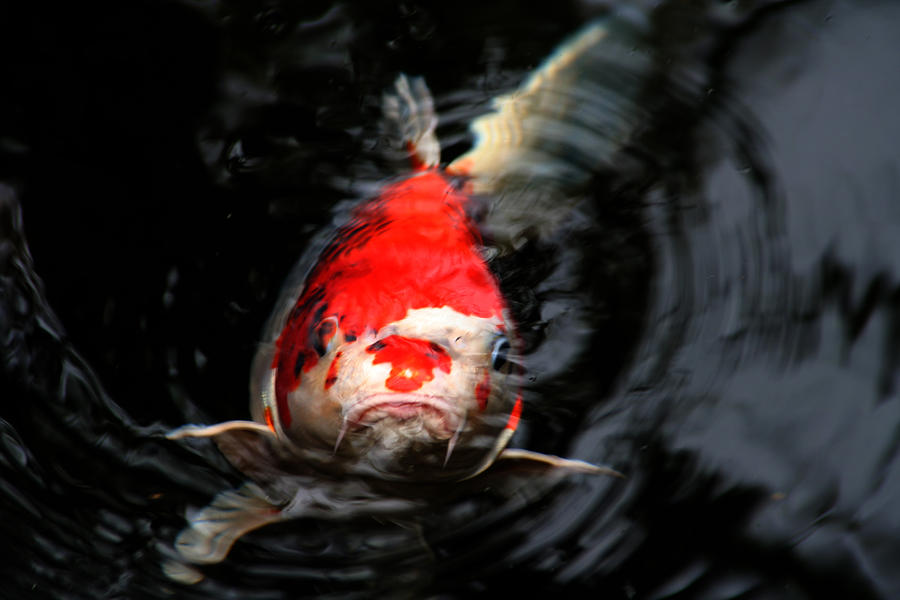 Coy definition what is for Koi meaning in english