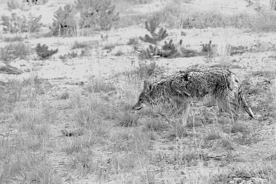 Coyote Blending In Photograph