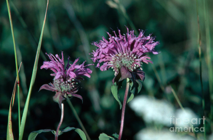 Coyote Mint Photograph