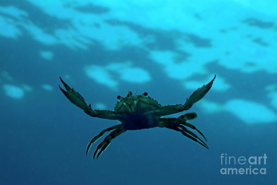 Crab Swimming In The Blue Water Photograph