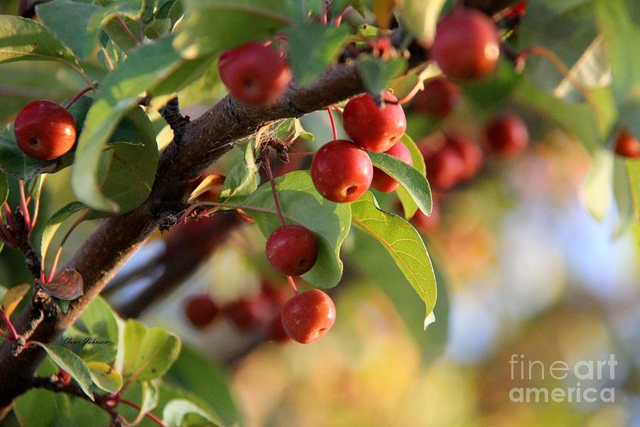 Crabapples Photograph
