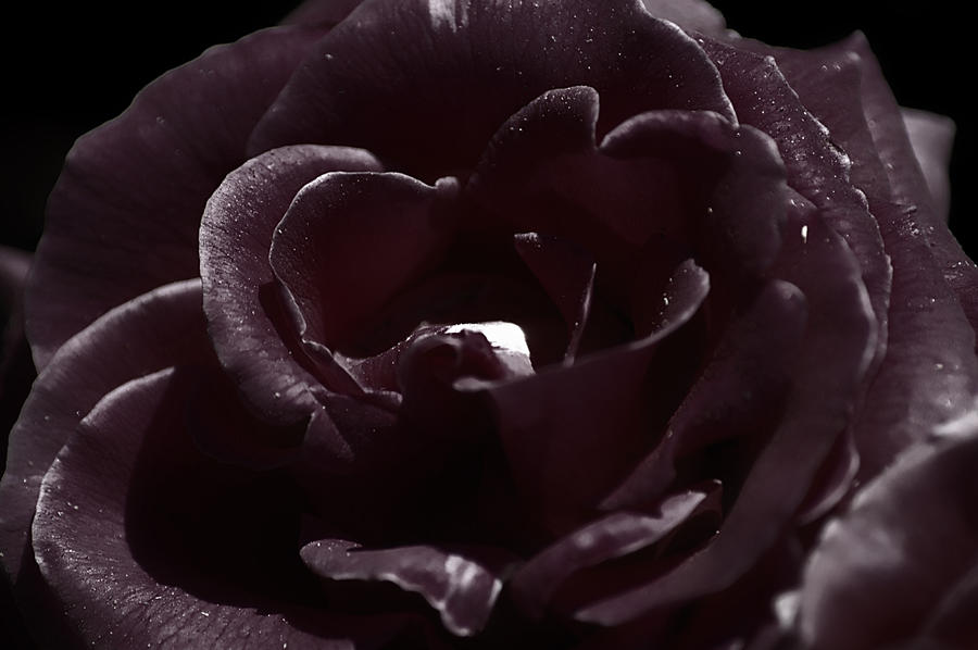 Cranberry Rose Photograph  - Cranberry Rose Fine Art Print