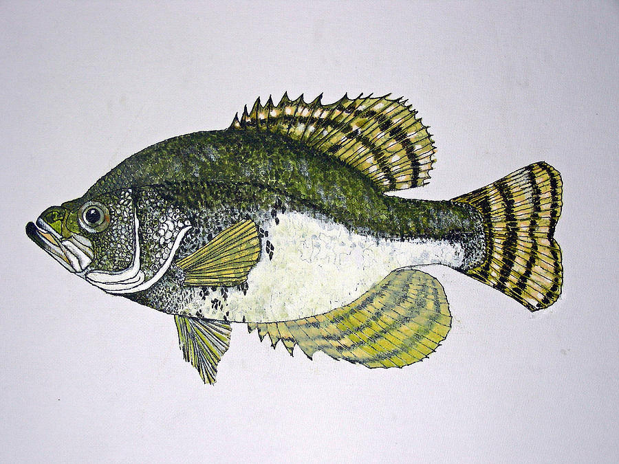 Crappie Fish Of Usa  Painting  - Crappie Fish Of Usa  Fine Art Print