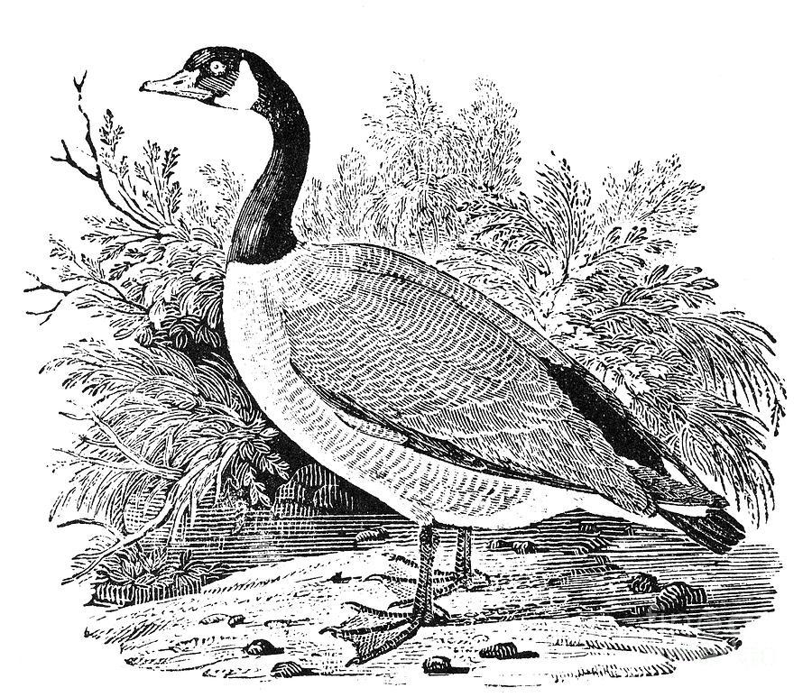 Cravat Goose Photograph