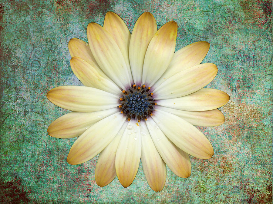 Cream Coloured Daisy Photograph  - Cream Coloured Daisy Fine Art Print