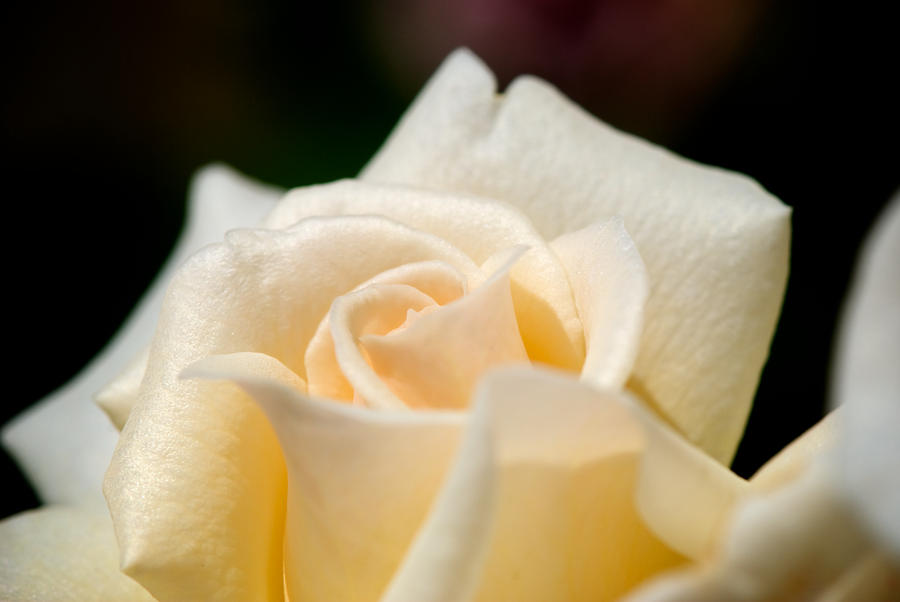 Cream Rose Kisses Photograph