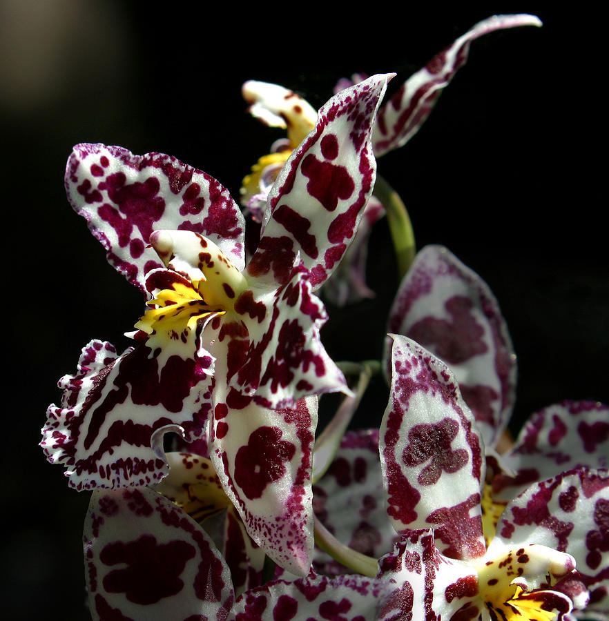Cribet Exotic Orchids Photograph  - Cribet Exotic Orchids Fine Art Print