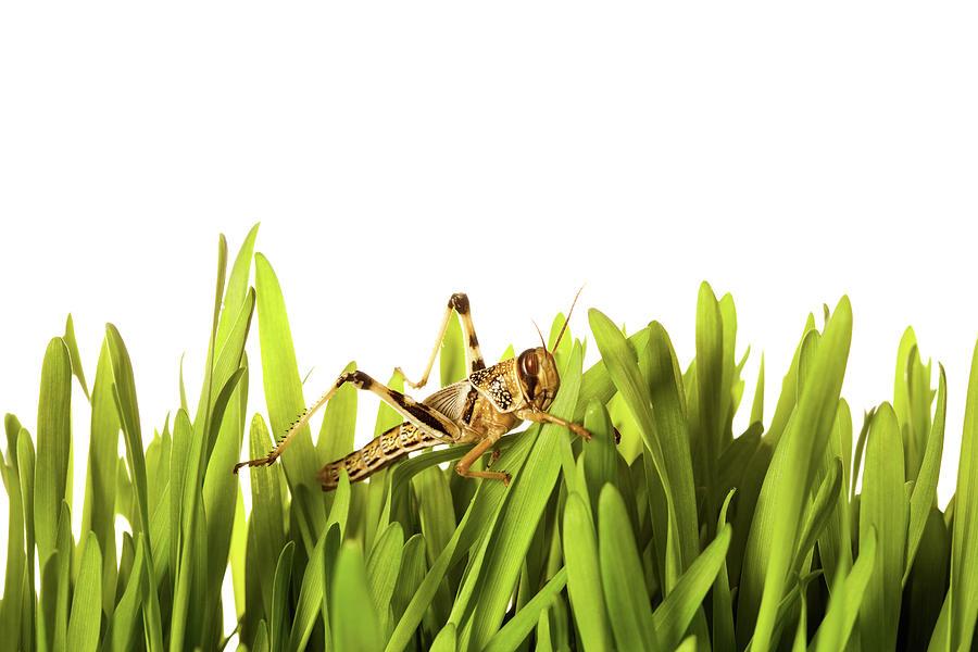 Cricket In Wheat Grass Photograph