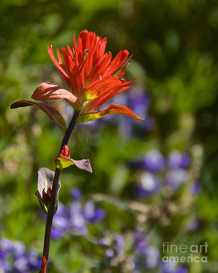 Crimson Paintbrush Photograph  - Crimson Paintbrush Fine Art Print