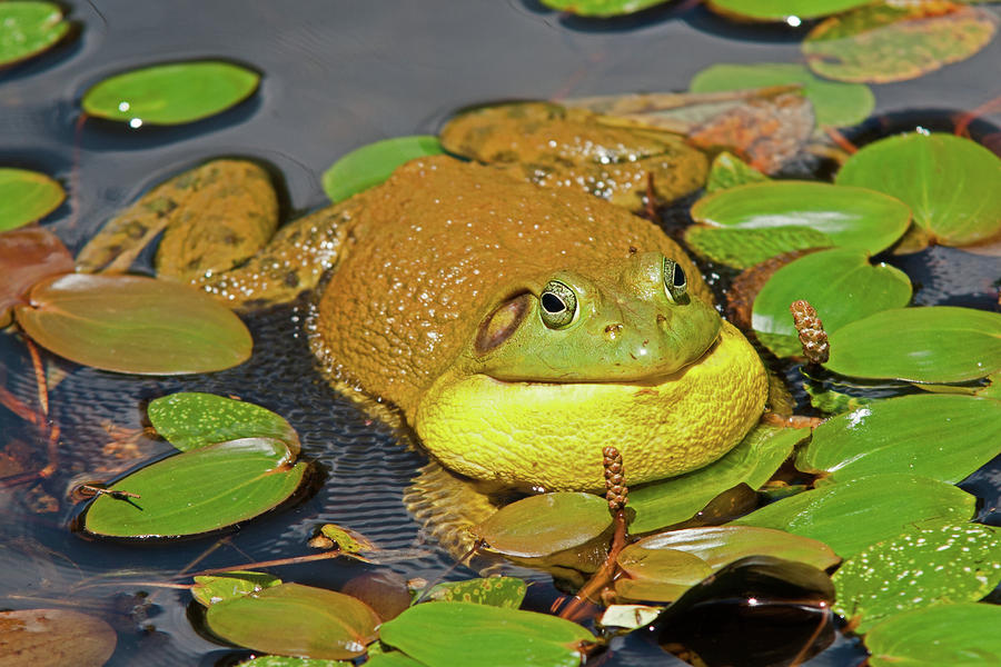 how to stop a frog croaking