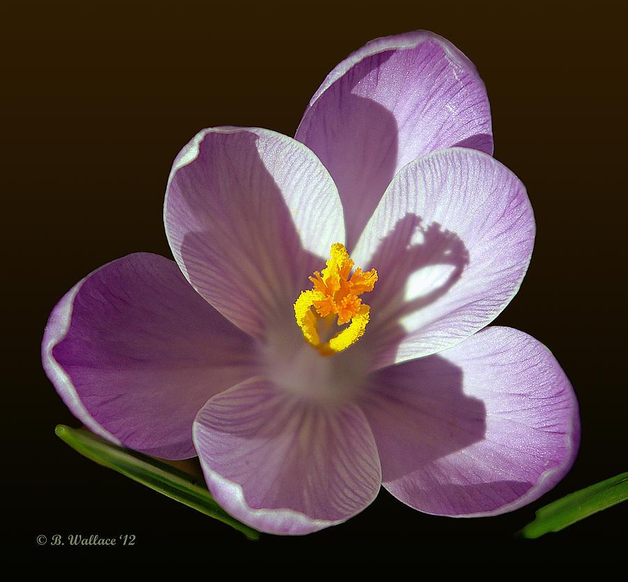 Crocus In Full Bloom Photograph