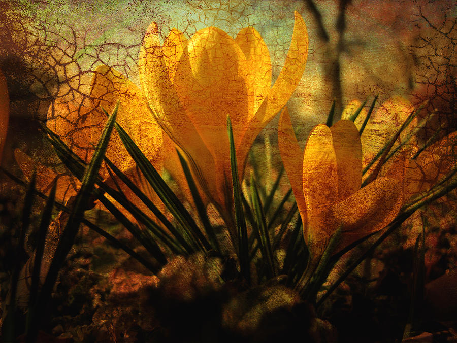 Crocus In Spring Bloom Photograph  - Crocus In Spring Bloom Fine Art Print