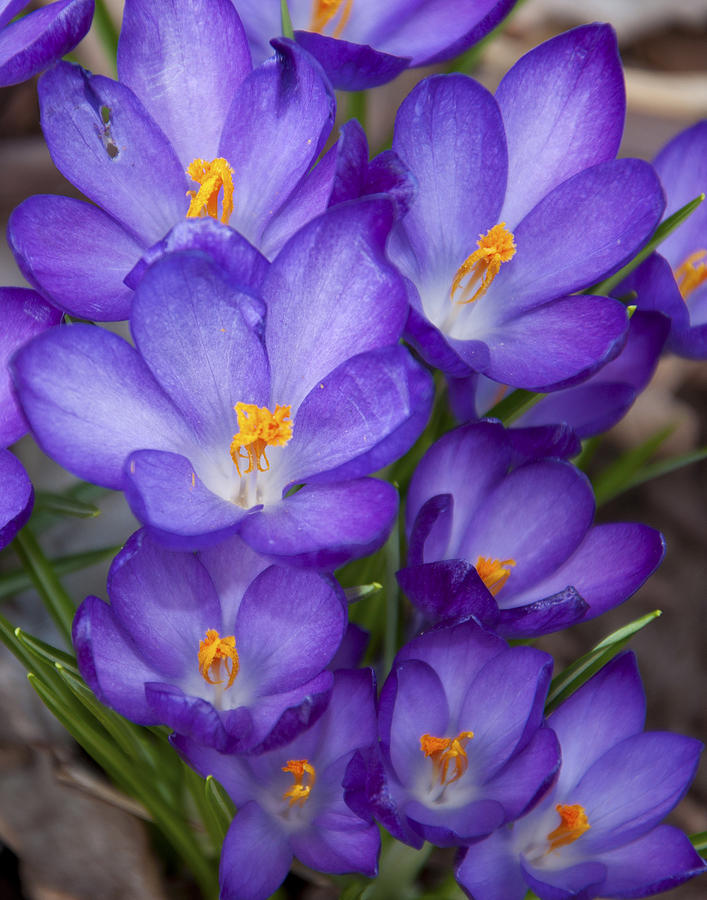 Crocuses Photograph  - Crocuses Fine Art Print