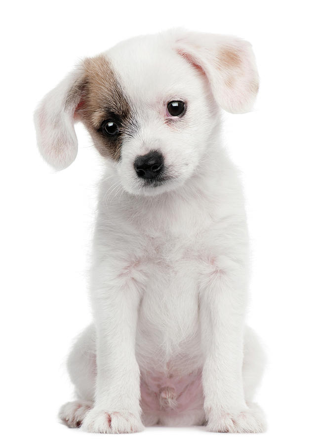 Vertical Photograph - Cross Breed Puppy (2 Months Old) by Life On White