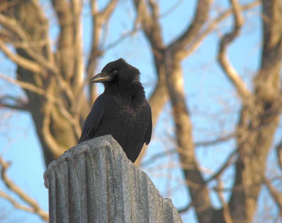 Crow Photograph - Crow In Wind by Gothicolors Donna