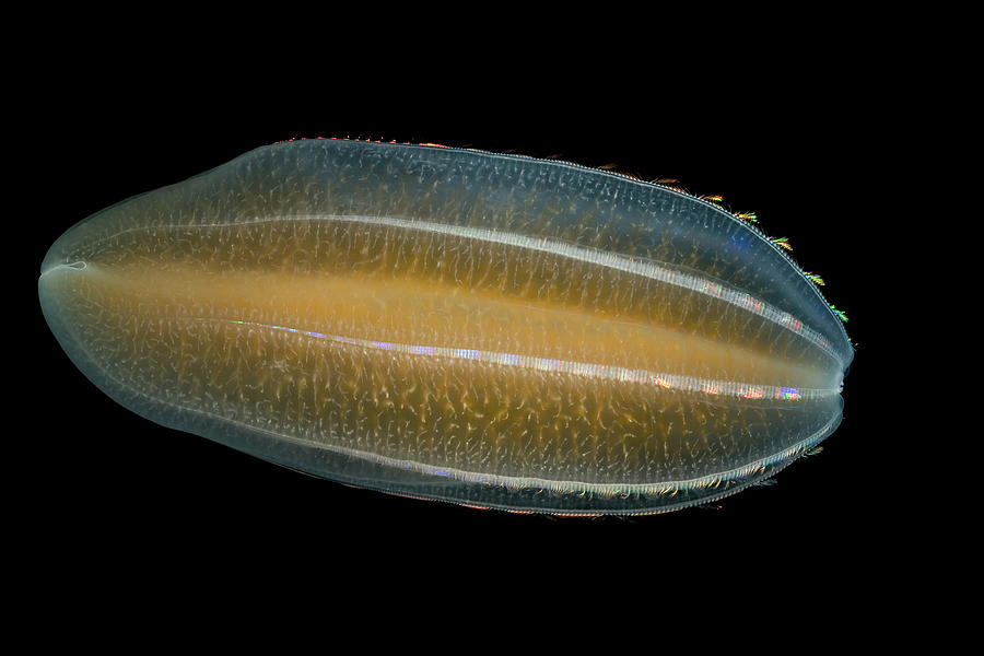 Ctenophore Beroe Cucumis Showing Photograph