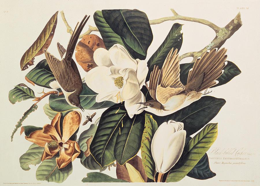 Cuckoo On Magnolia Grandiflora Drawing