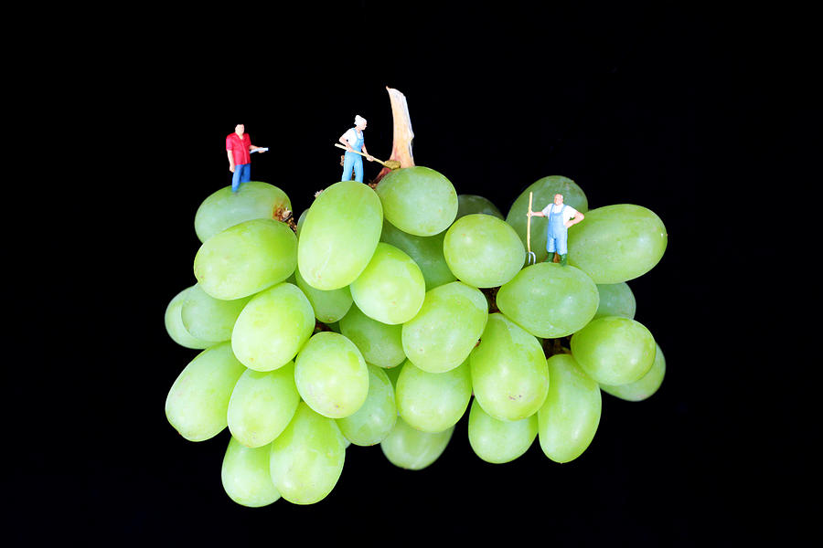 Cultivation On Grapes Photograph  - Cultivation On Grapes Fine Art Print