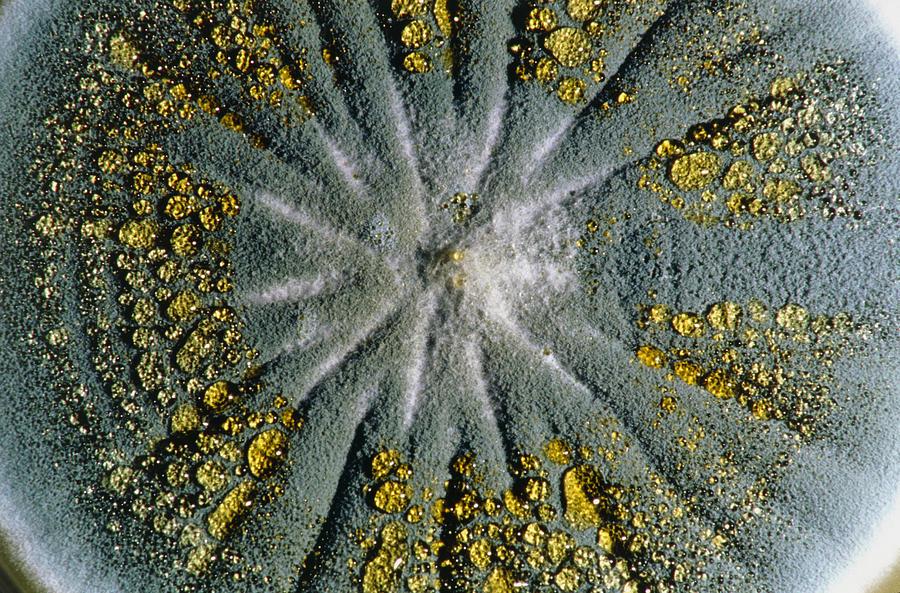 Culture Of Penicillium Chrysogenum Fungus Photograph by ...