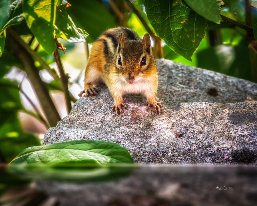 Curious Chipmunk  Photograph  - Curious Chipmunk  Fine Art Print