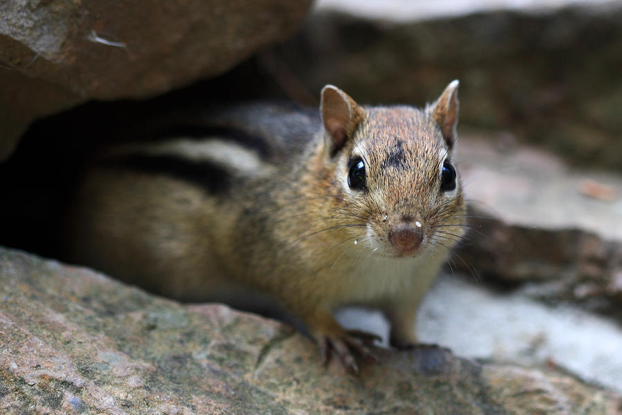 Curious Little Chipmunk Photograph
