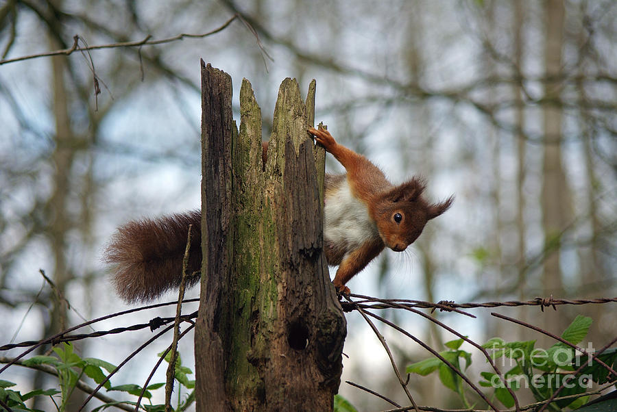 Curious Red Squirrel Photograph  - Curious Red Squirrel Fine Art Print