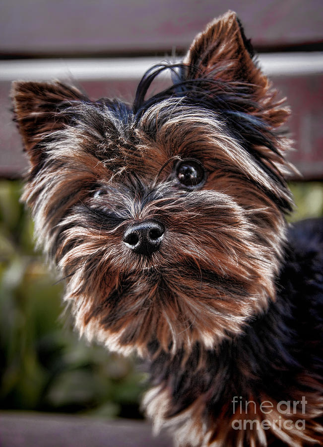 Curious Yorkshire Terrier Photograph - Curious Yorkshire Terrier by Mariola Bitner