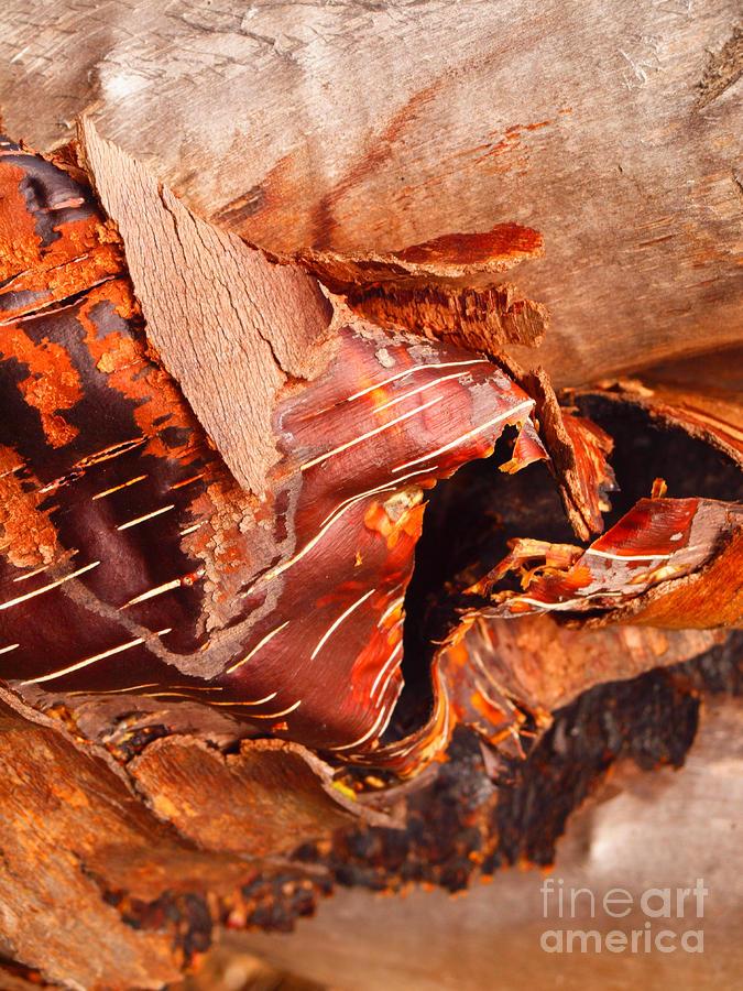Curled Bark Photograph