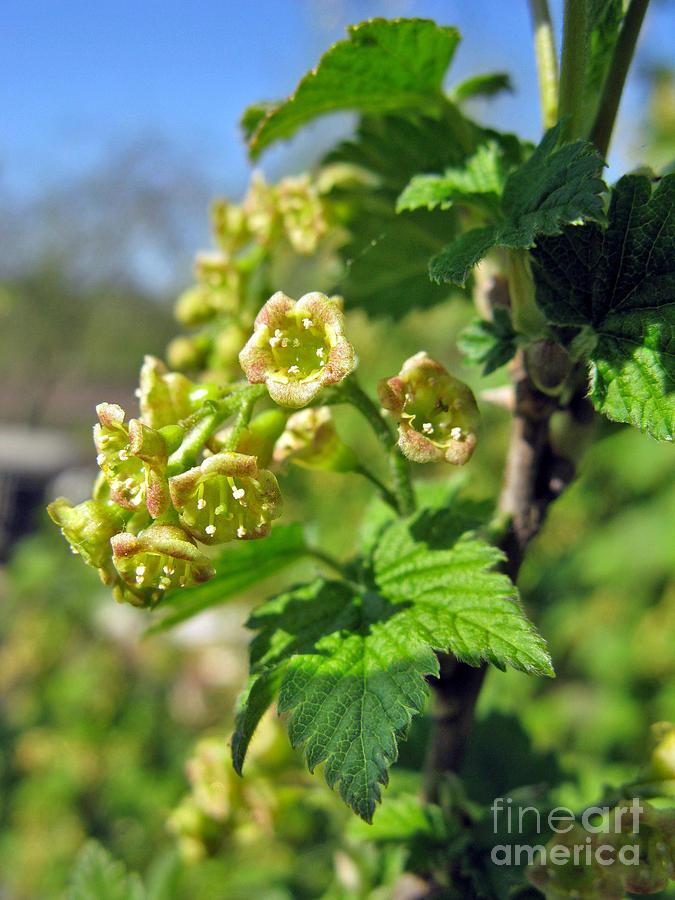 Spring Photograph - Currant In Bloom by Ausra Huntington nee Paulauskaite