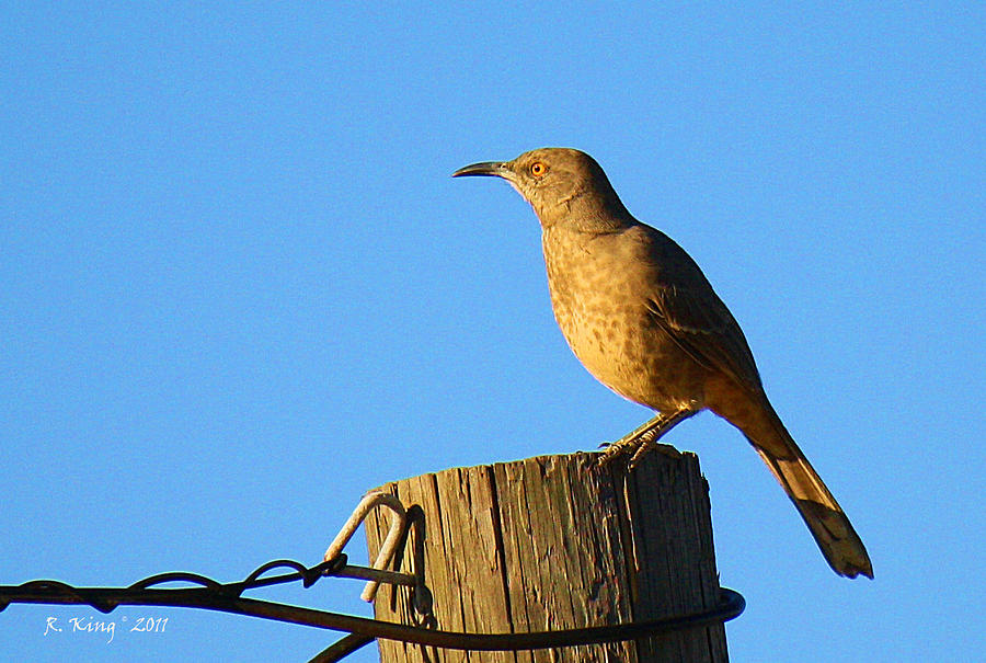 Curved Billed Thrasher Sitting On A Post is a photograph by Roena King ...