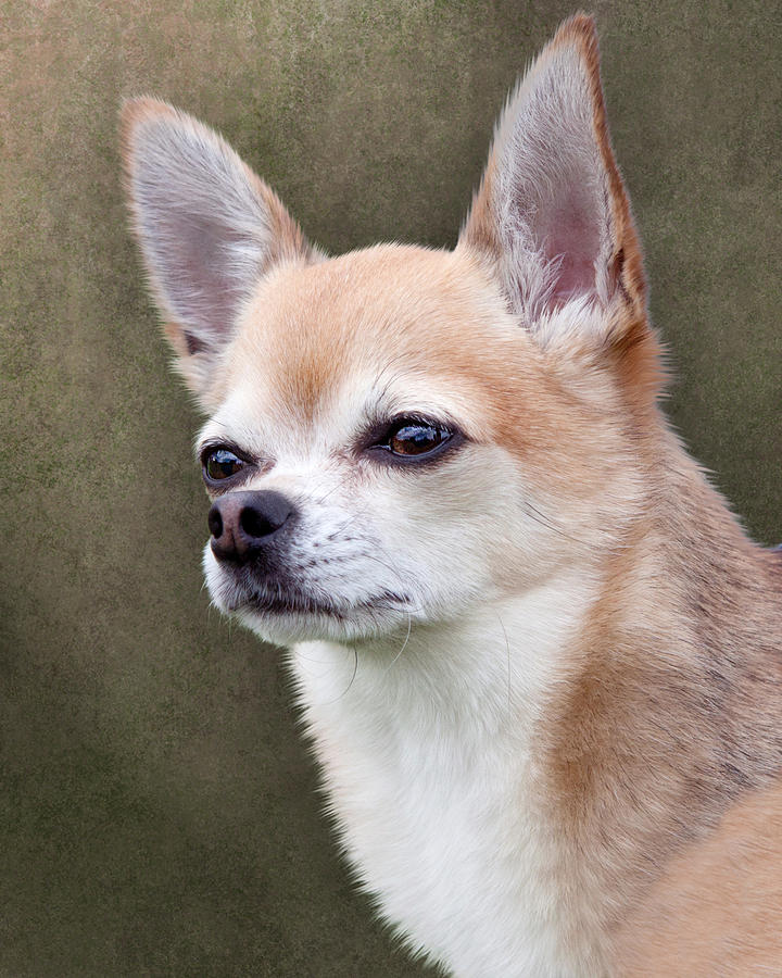 Cute Fawn Chihuahua Dog Photograph  - Cute Fawn Chihuahua Dog Fine Art Print