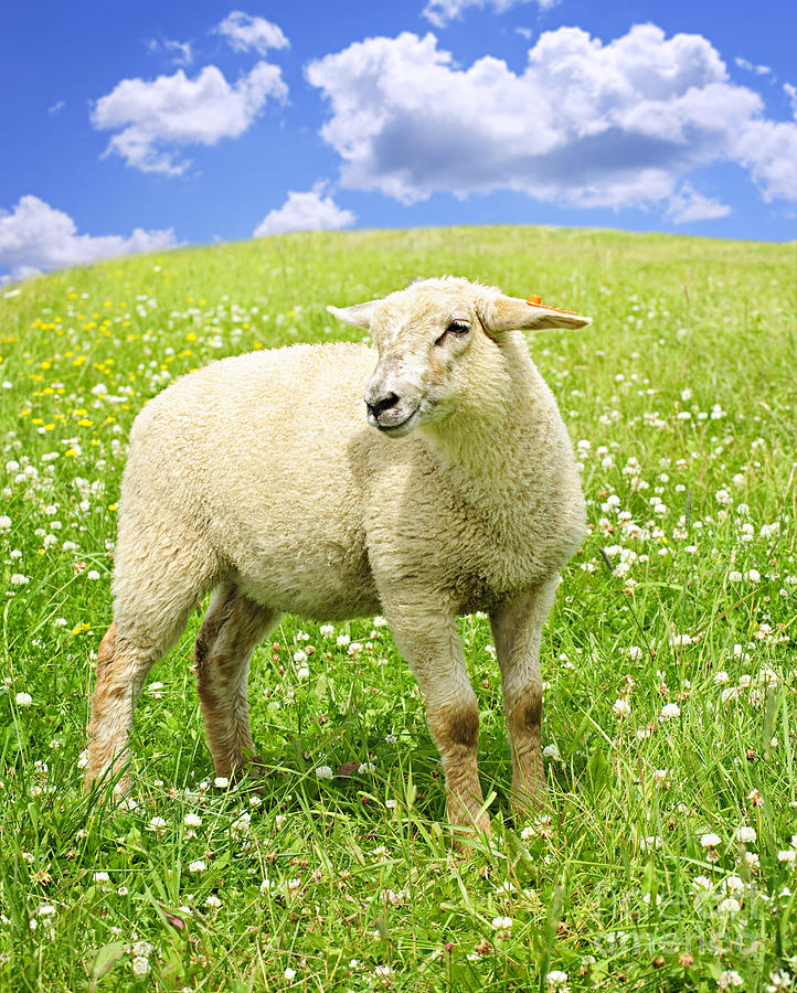 Cute Young Sheep Photograph  - Cute Young Sheep Fine Art Print