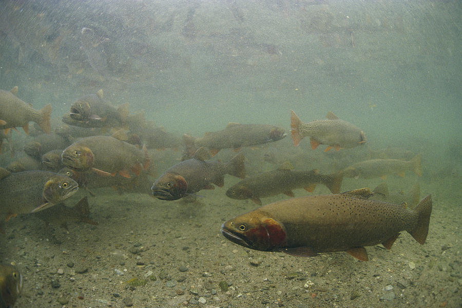 Cutthroat Trout Swim Photograph  - Cutthroat Trout Swim Fine Art Print