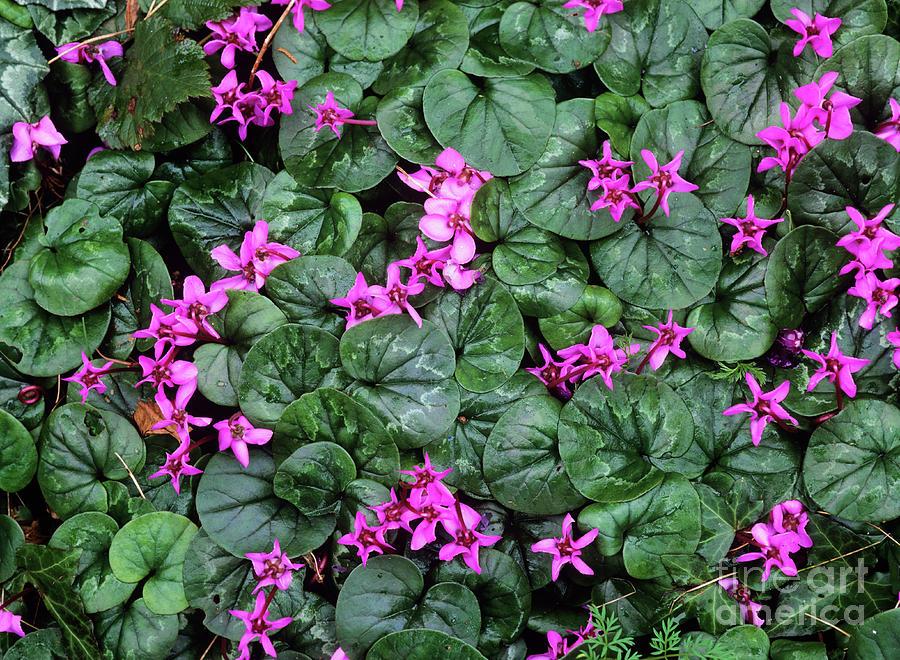 Cyclamen Flowers (cyclamen Coum) Photograph