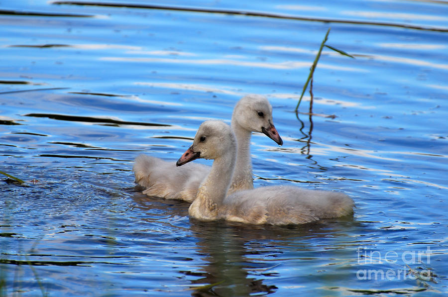 Cygnet Siblings Pyrography  - Cygnet Siblings Fine Art Print