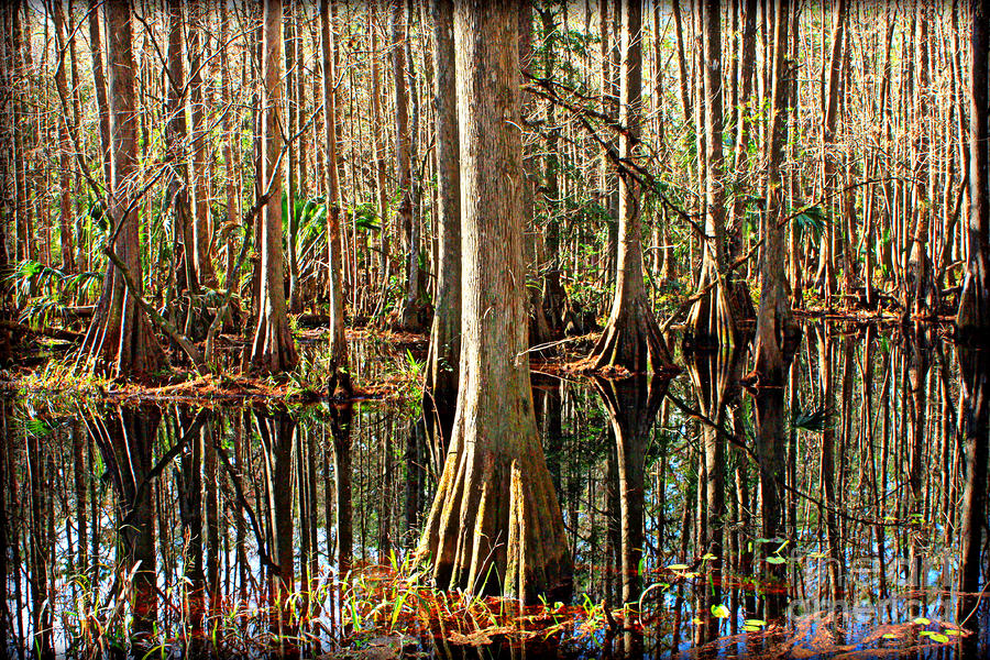 Cypress Swamp Photograph  - Cypress Swamp Fine Art Print