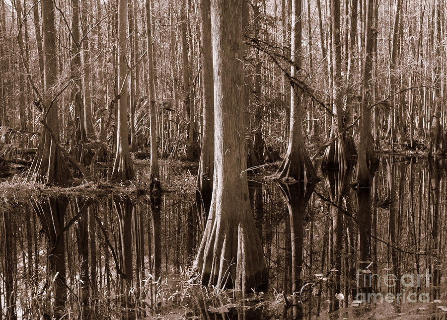 Cypress Swamp Reflection In Sepia Photograph