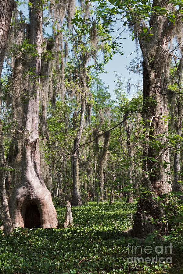 Swamp Photograph - Cypress Trees And Water Hyacinth In Lake Martin by Louise Heusinkveld