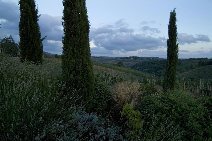 Cypress Trees Growing In The Rolling Photograph
