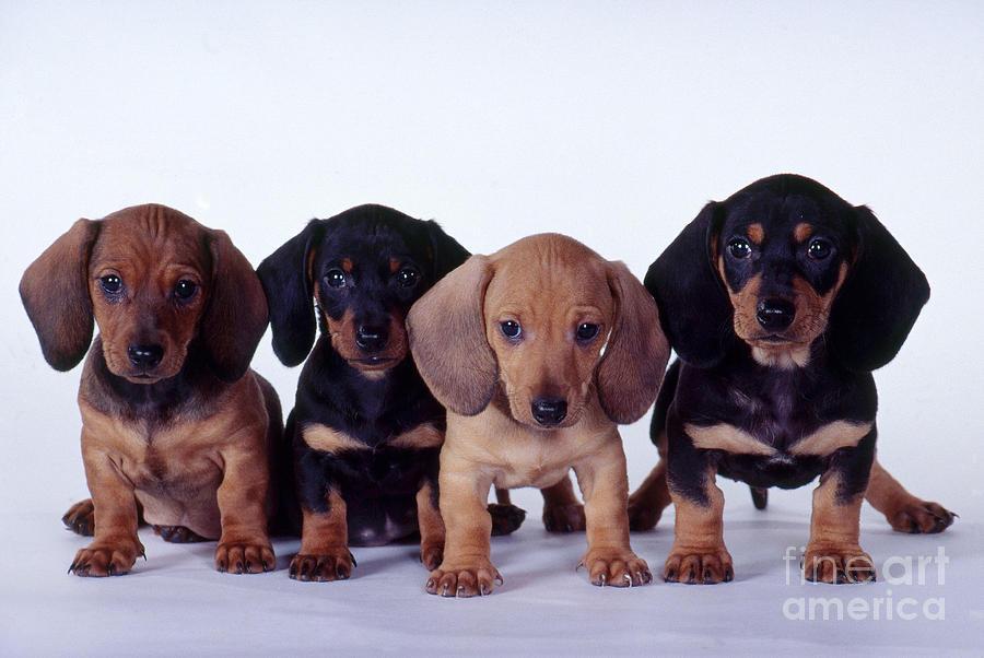 Dachshund Puppies  Photograph