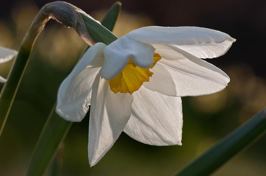 Daffodil Photograph - Daffodil Closeup by Ron Smith