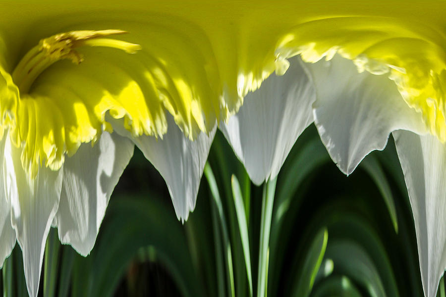 Daffodil Dripper Photograph  - Daffodil Dripper Fine Art Print