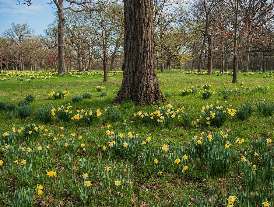 Daffodil Glade Number 2 Photograph