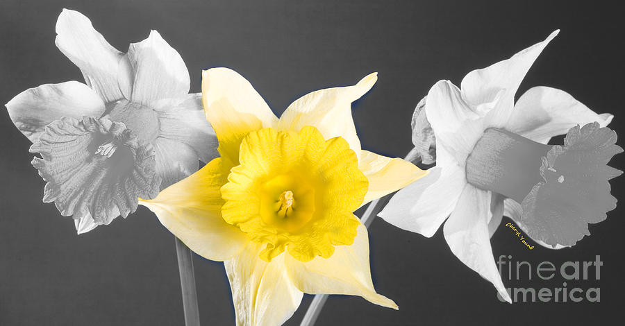 Narcissus Photograph - Daffodil Trio  by Cheryl Young